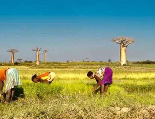 Madagascar-panorama baobabs + planteuses riz