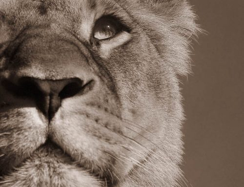 emotions animales-oeil de lionne