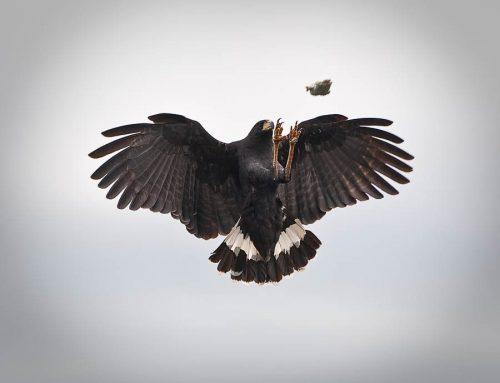 Venezuela-aigle noir
