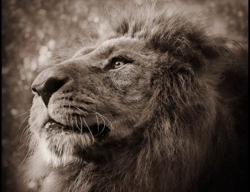 emotions animales-roi lion